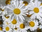 Wirkstoff der Chrysanthemen-Blume