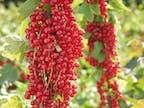 Erlesene Früchte